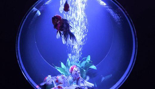 アートアクアリウム 2016 金魚が織りなす涼と癒やされの時間をすごしてみませんか?